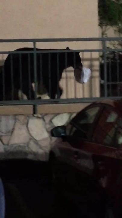 Black bear makes off with leftover pancakes in Gatlinburg