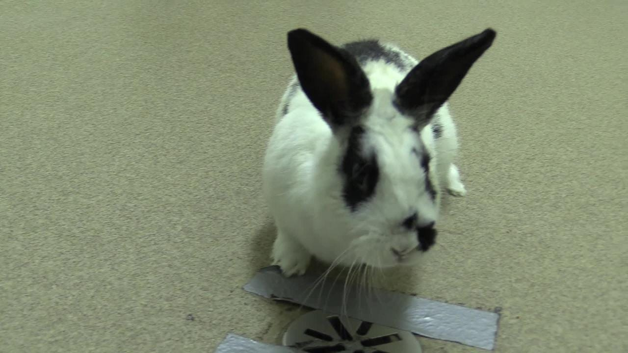 Luigi is a 2 year old rabbit rescued from Las Vegas, NV.  He likes to explore and loves people.   He is looking for his forever home.