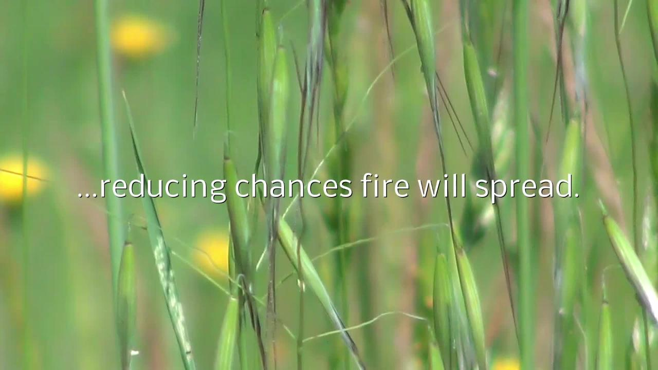 Green grasses like these are well hydrated and less likely to burn when lightning strikes close by them.