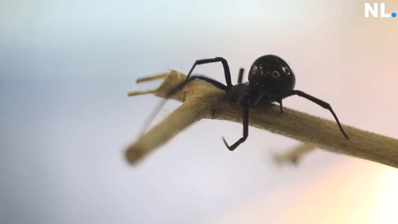 A quick overview of the two venomous spiders in the Ozarks that are dangerous to humans.