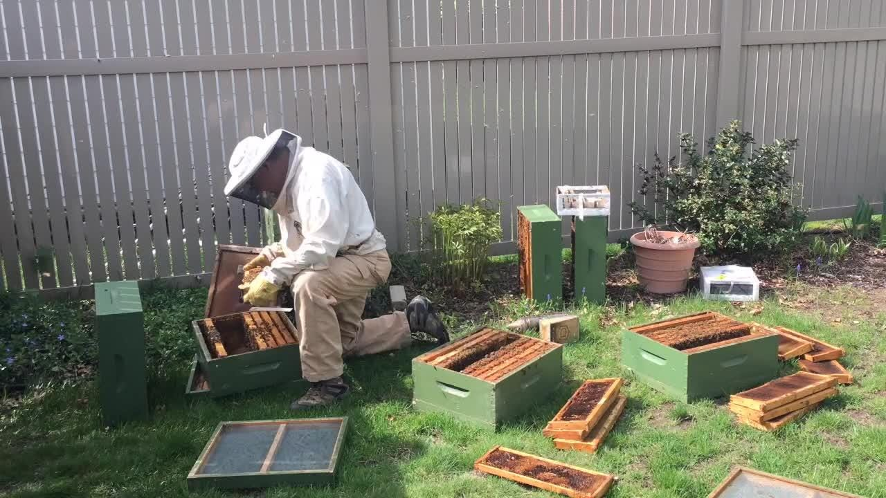 Canton beekeeper Bob Jastrzebski splits a hive and searches for the queen bee. The whole job took 2 hours. You can see it here in 40 seconds