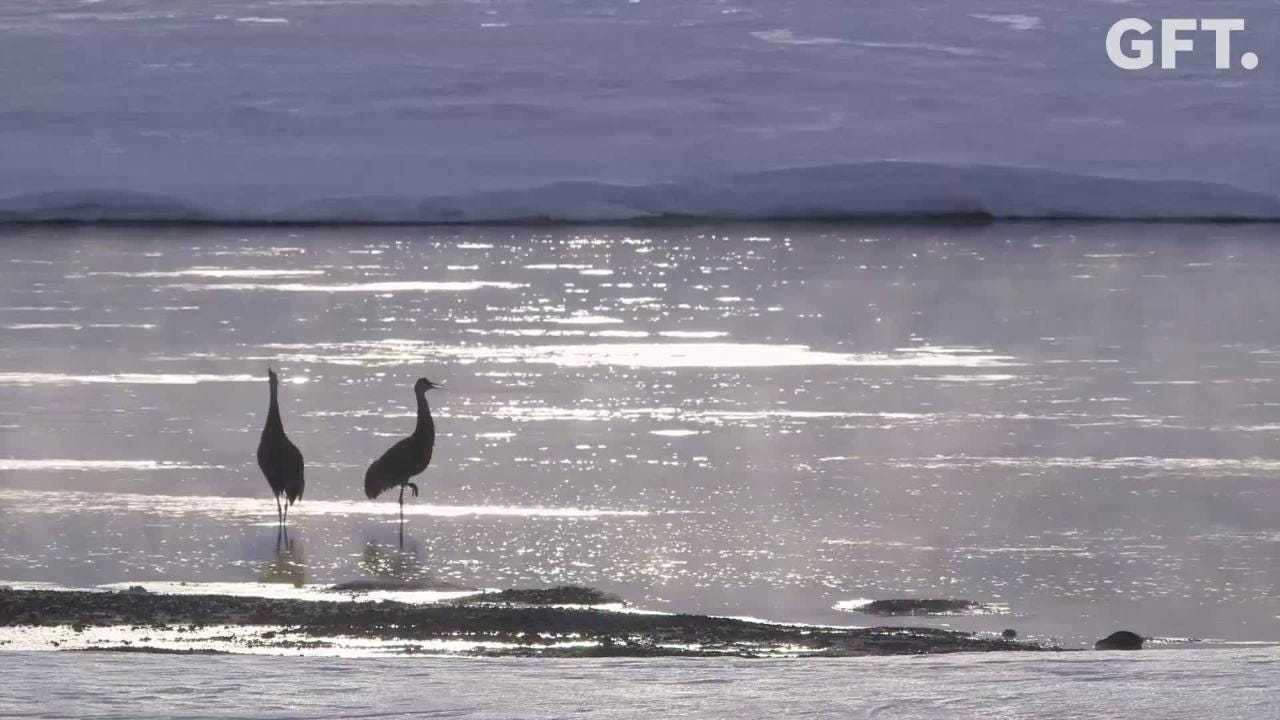 Sandhill cranes filmed in Yellowstone National Park