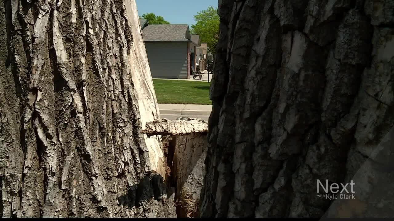 A Loveland community is saying goodbye to a large, nearly 100-year-old tree.