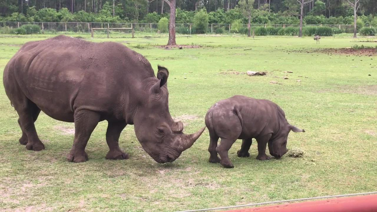 Gulf Breeze Zoo Director Jesse Potbaum talks about the impact zoos have on repopulating endangered species like the Southern white rhino.