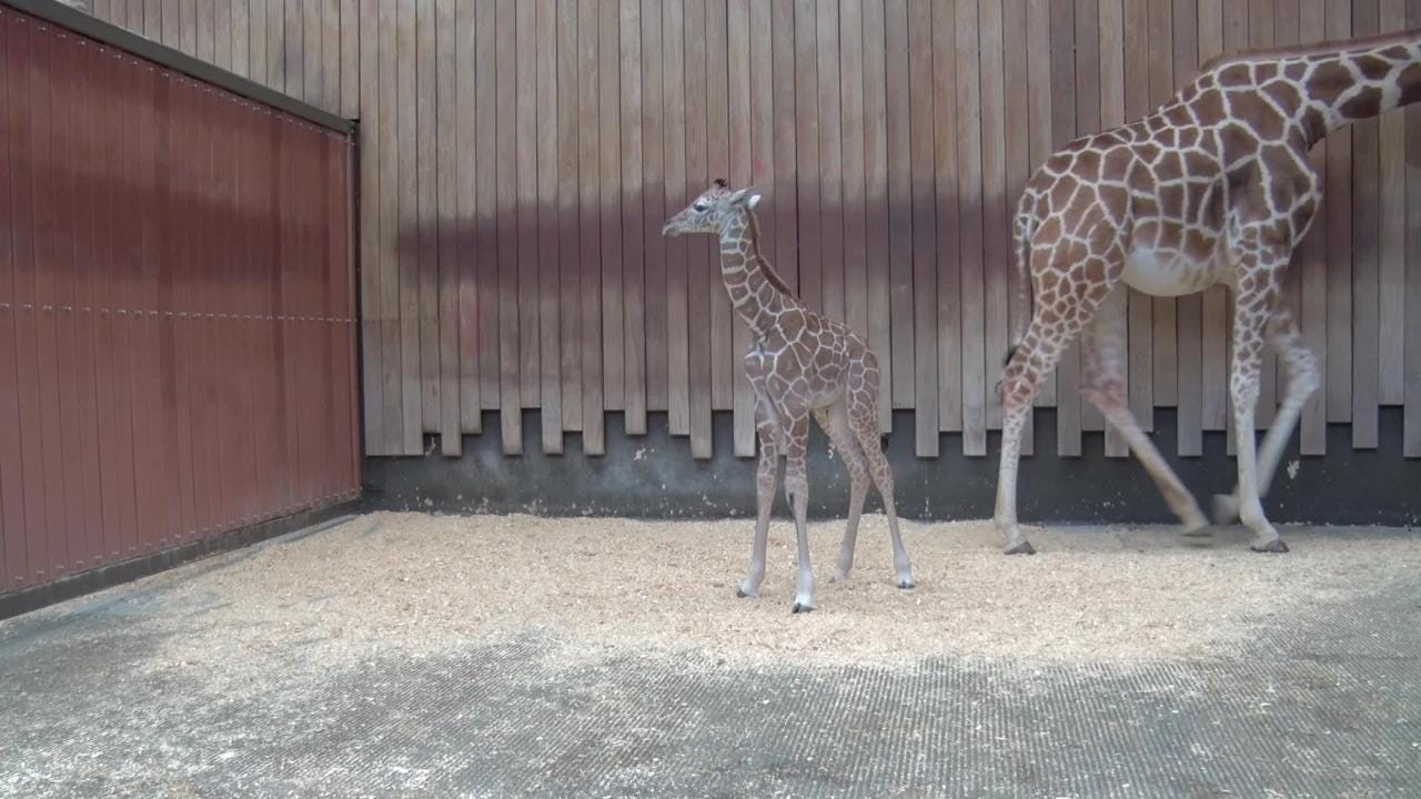 Meet the Milwaukee County Zoo's baby giraffe born Feb 5. 2018, makes her debut