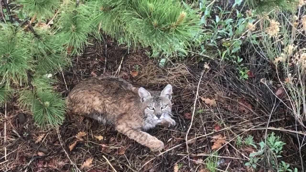 New video shows a bobcat hanging out on a Somersett hillside. The video was provided to the RGJ by Ali Sakallioglu of Reno, who shot the footage around 6 p.m. on May 22, 2018.