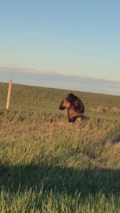 Giant grizzly bear on the run