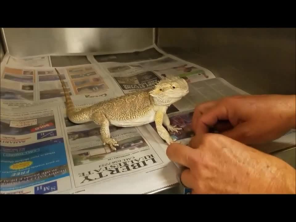 A Hemet area couple got an added surprise when they opened a box containing a bicycle they ordered online and found a bearded dragon had stowed away inside.