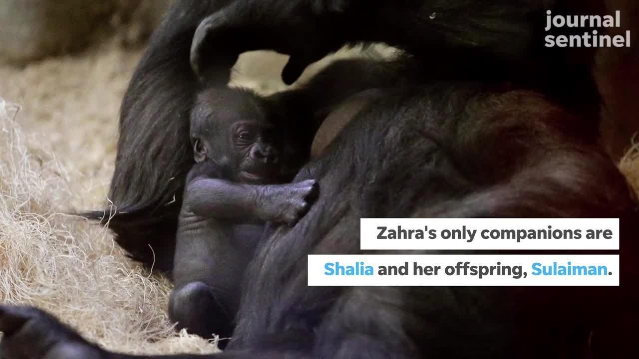 Milwaukee County Zoo is Dealing With the Loss of Western Lowland Gorillas Cassius and Naku