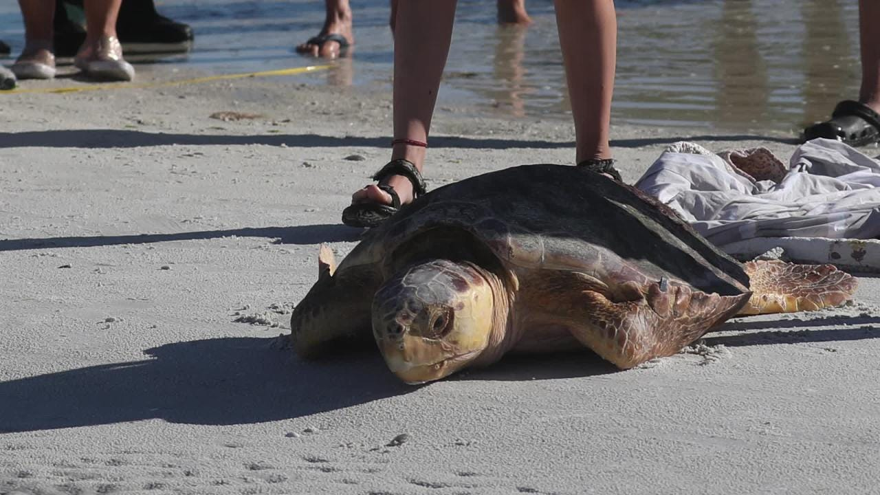 CROW releases loggerhead sea turtle back to the wild after recovery from red tide poisoning