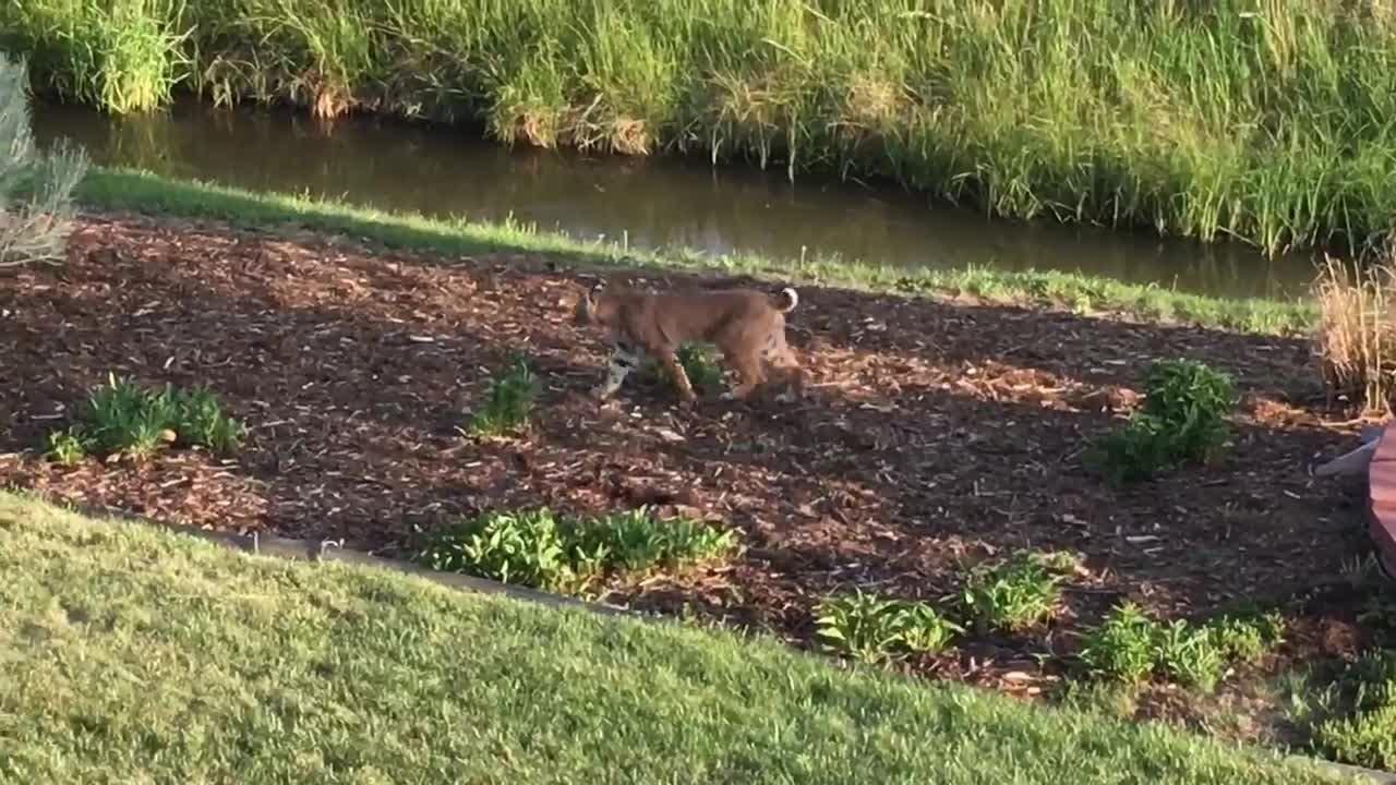 A bobcat strolls through a southwest Fort Collins neighborhood earlier this week.