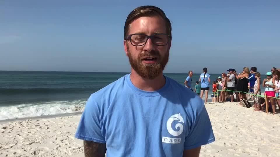 Seven juvenile green sea turtles released on Pensacola Beach