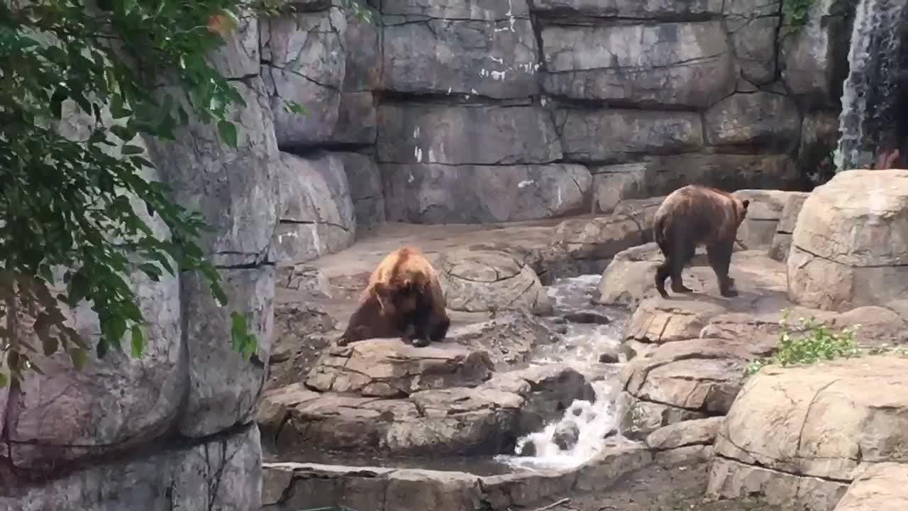 The brown bears made their debut at the Great Plains Zoo in Sioux Falls on Saturday.