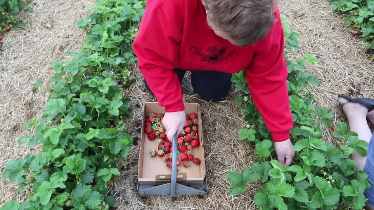 Strawberry picking is a yummy way for families to have fun this summer