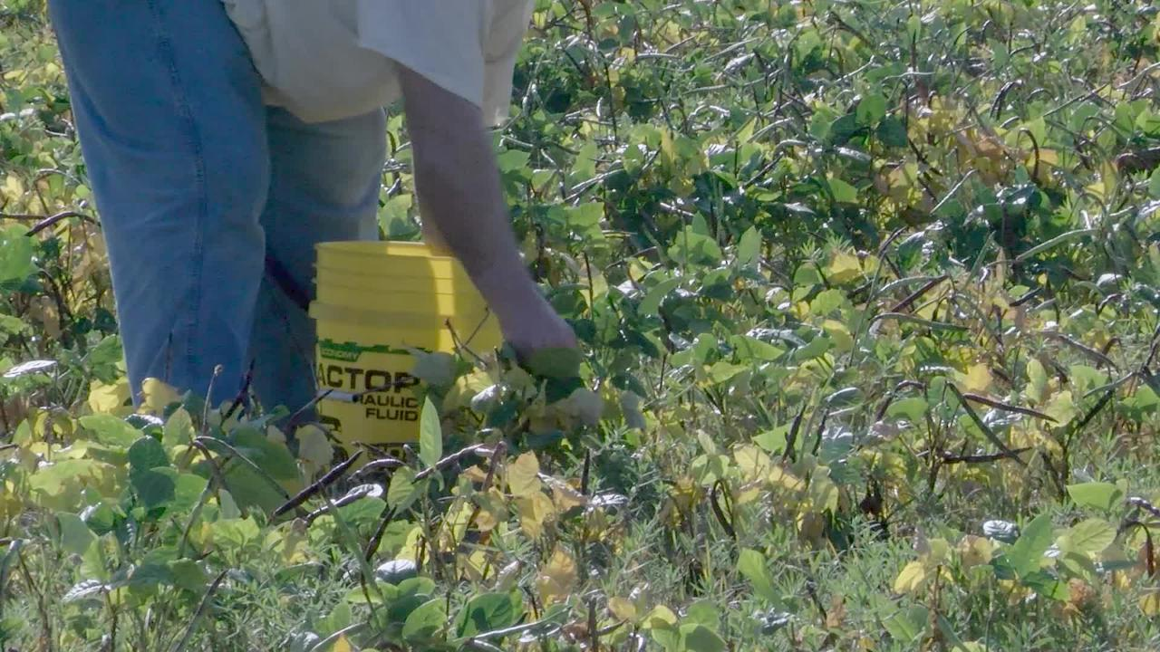 "Inmates at the Bossier Sheriff's Office Corrections Facilities began their yearly task of harvesting of peas and other vegetables this week at the ""Pea Farm."""