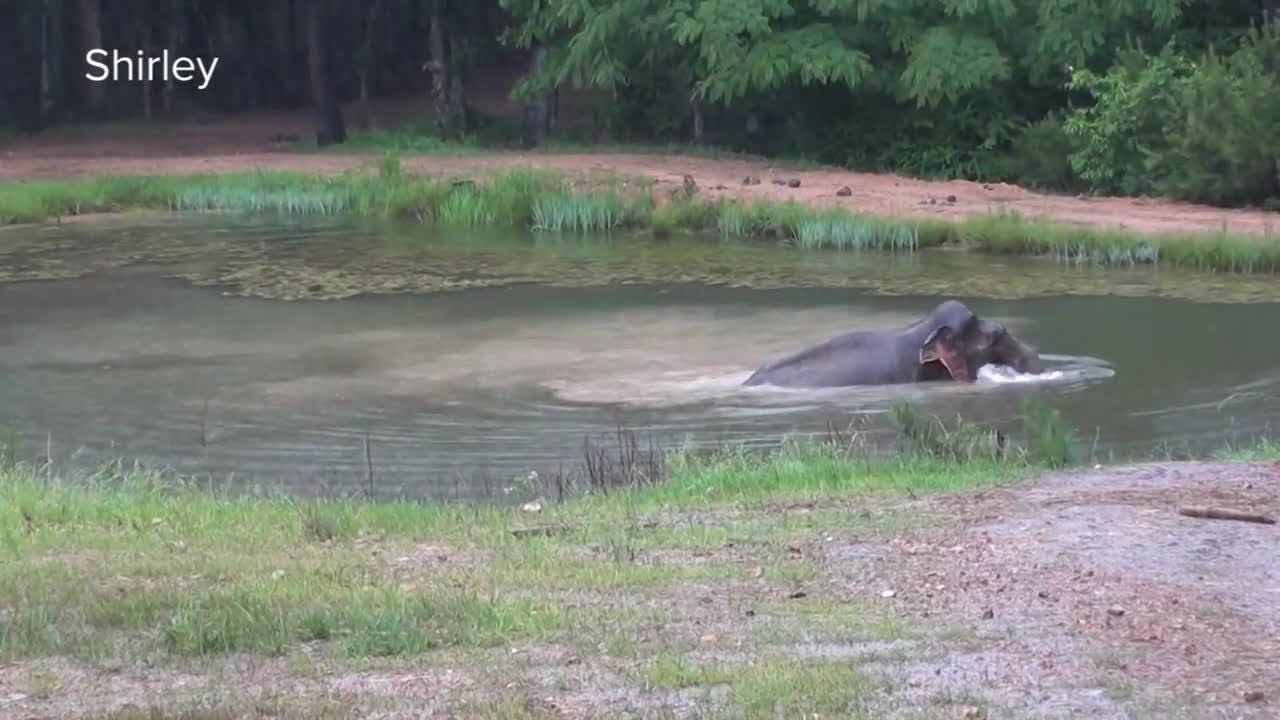 Shirley takes a rainy day dip at The Elephant Sanctuary in Tennessee. She lived at the zoo in Monroe for 22 years.