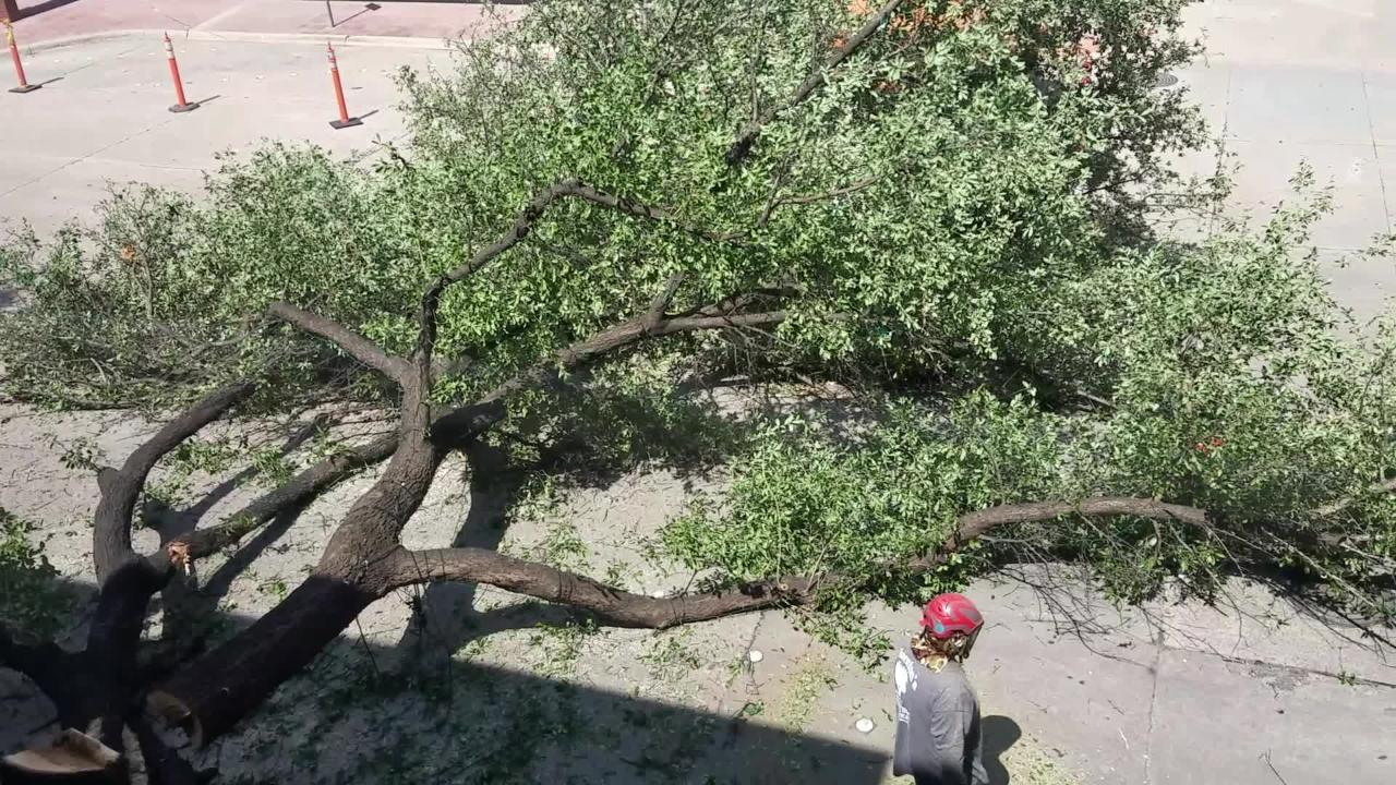 A tree outside the Abilene Reporter-News on Cypress St. was struck by an 18-wheeler and suffered sufficient damage that it had to be removed Monday.