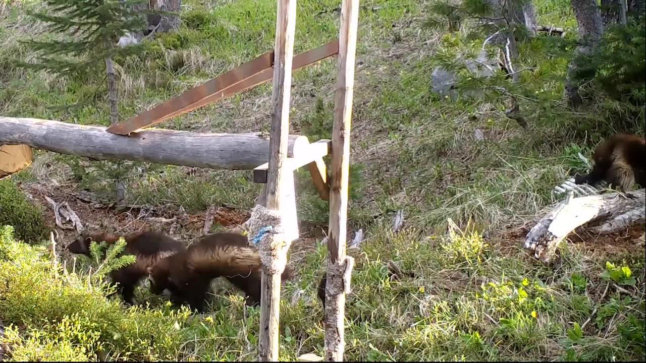 Wolverine kits snarl, munch deer bones