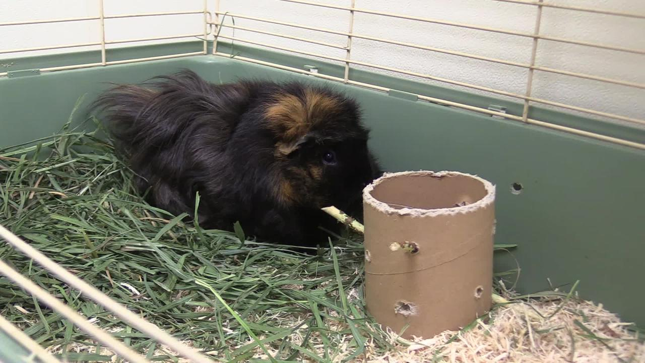 Henrietta is an active 2 year old female guinea pig who likes to be held.  She would make a great first pet.