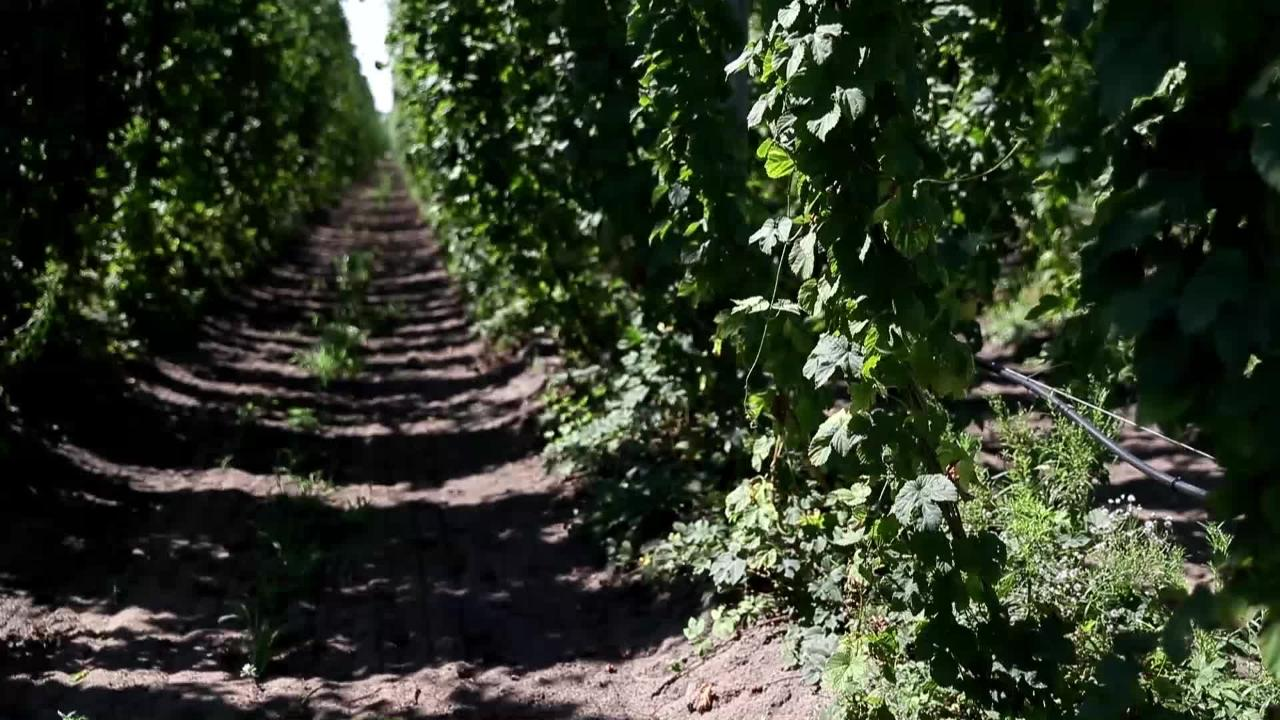 A Nekoosa, Wis. cranberry farmer wanted to add another crop on his property, and he decided on hops.