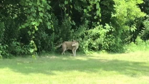 Video captures coyote in Port Huron