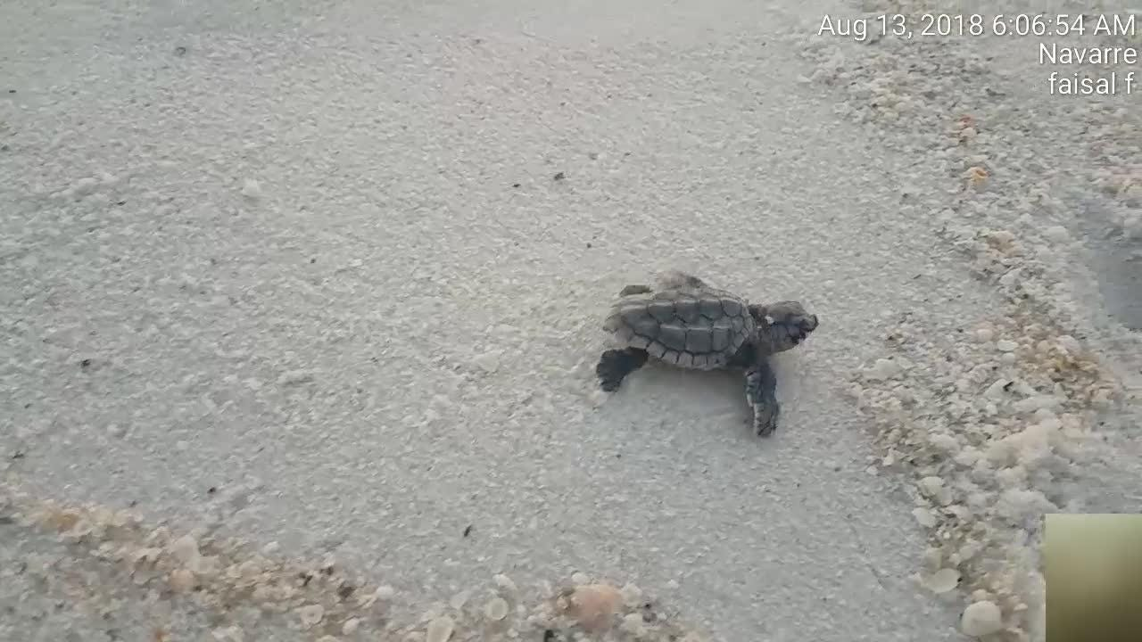A baby sea turtles struggles to make its way to water after hatching.