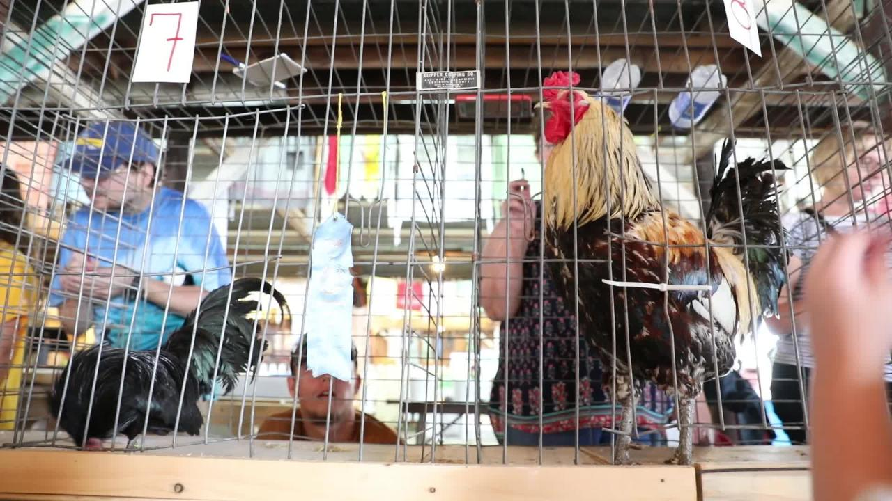 The Rooster Crowing Contest at the Muskingum County Fair on Friday.