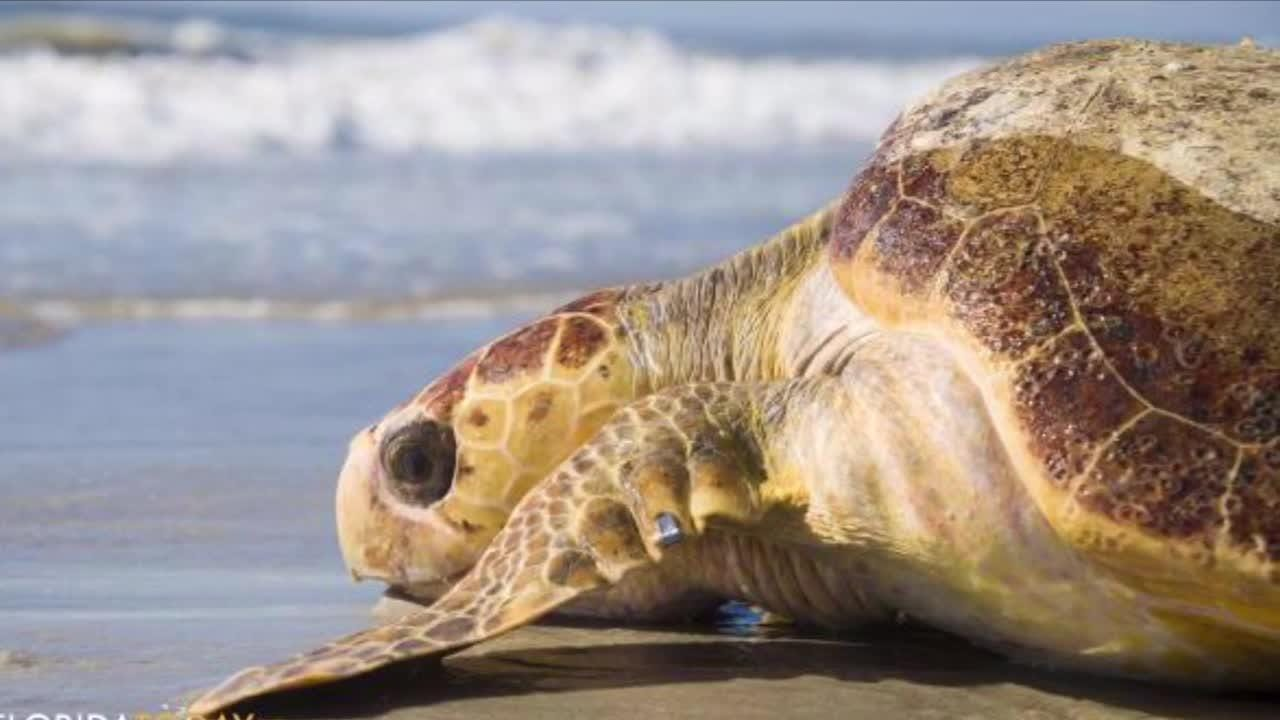 The Sea Turtle Preservation Society now has emergency transport at Port Canaveral for injured wildlife at Port Canaveral