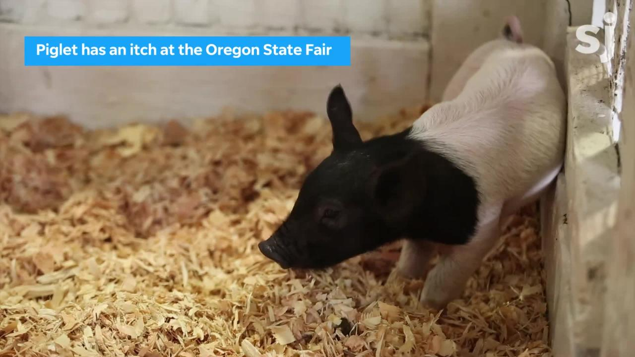 A piglet scratches his behind on the opening day of the Oregon State Fair in Salem on Friday, Aug. 24, 2018. The fair runs through September 3.