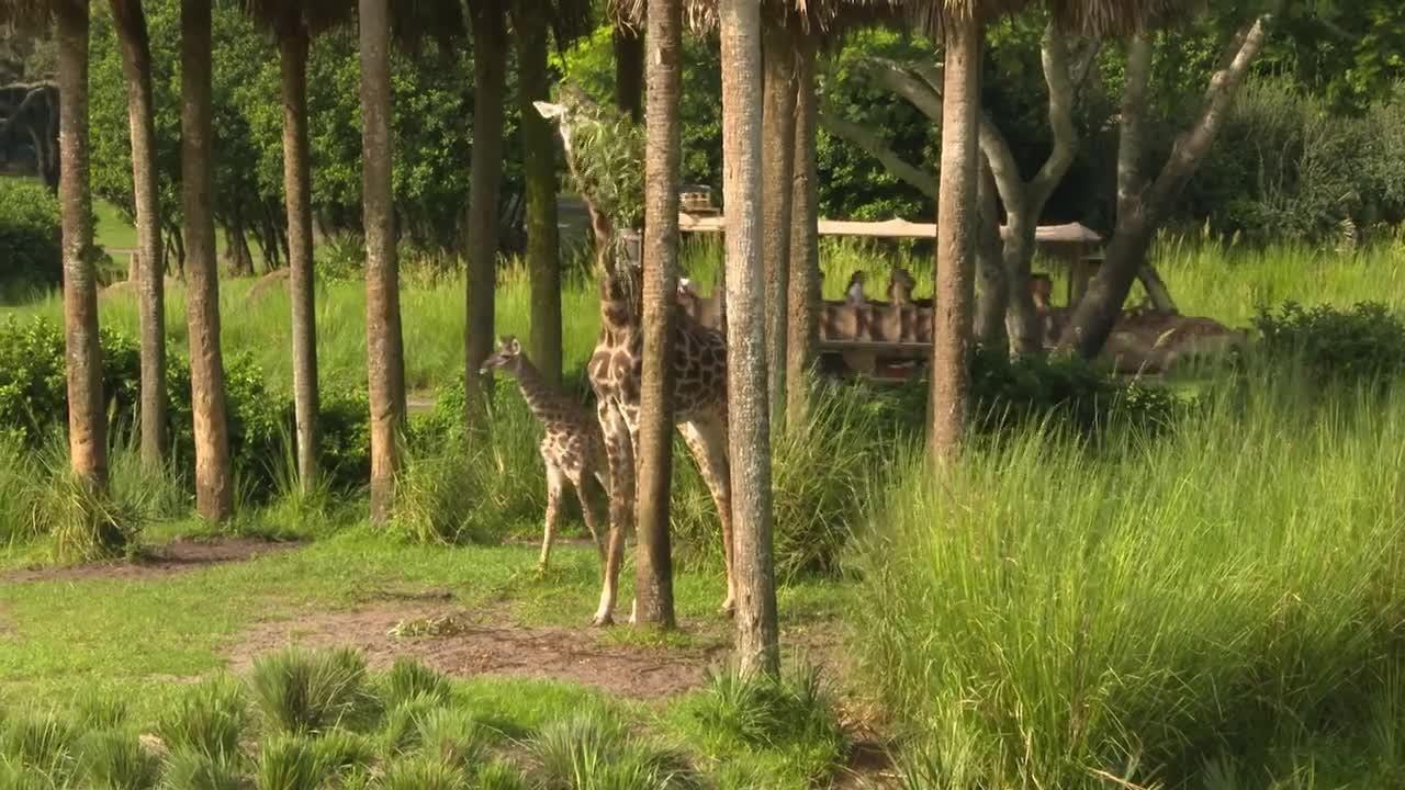 Disney's Animal Kingdom's newest arrival, an adorable baby giraffe Aella.
