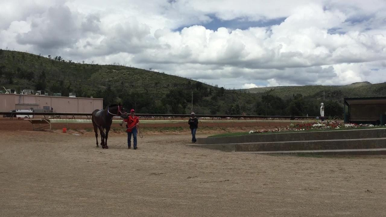 Before the 7th All American Gold Cup race at Ruidoso Downs, horses are walked to where the jockey's mount them before the race.
