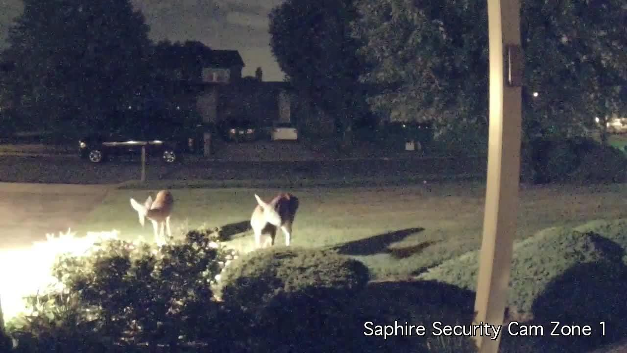 Rick Saphire was surprised to see a deer, then two deer, enjoy an early-morning snack on his property. He received a lot of feedback when he shared the video on social media.