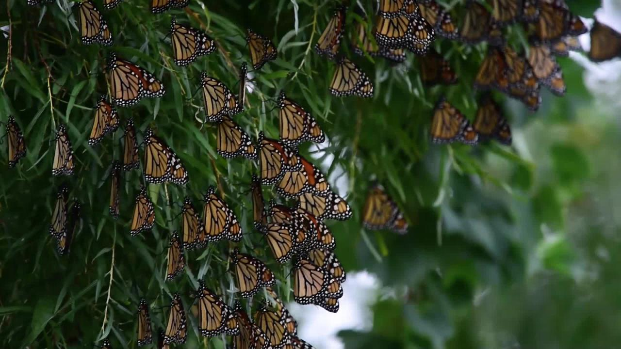 Monarch butterflies wait out the cold, windy and wet weather at Ottawa National Wildlife Refuge before flying to the forests of Mexico for winter.