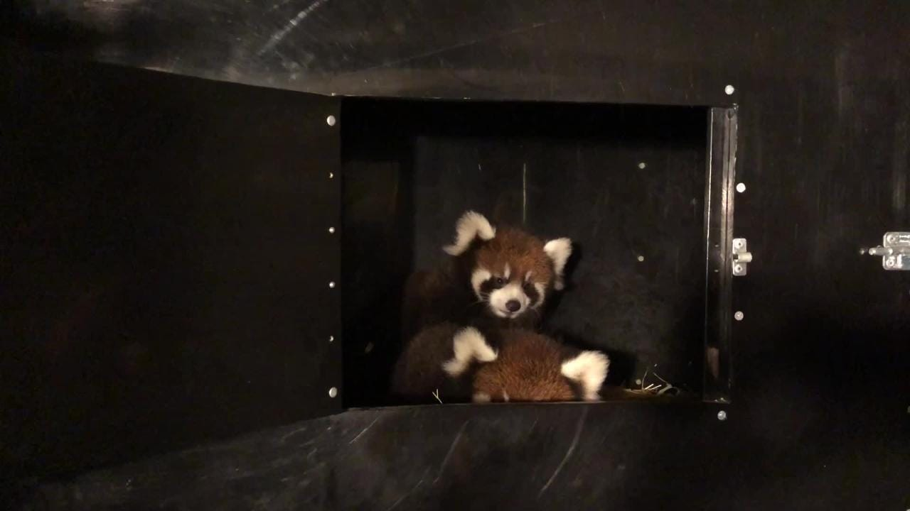 The Cincinnati Zoo is hoping two red panda cubs will be in their habitat in the next two weeks. While we wait, here's a fresh look at how they've grown.