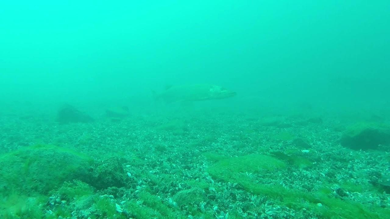 Diver Brian Martin gives us a glimpse into the behavior of one of the St. Clair River's largest predators