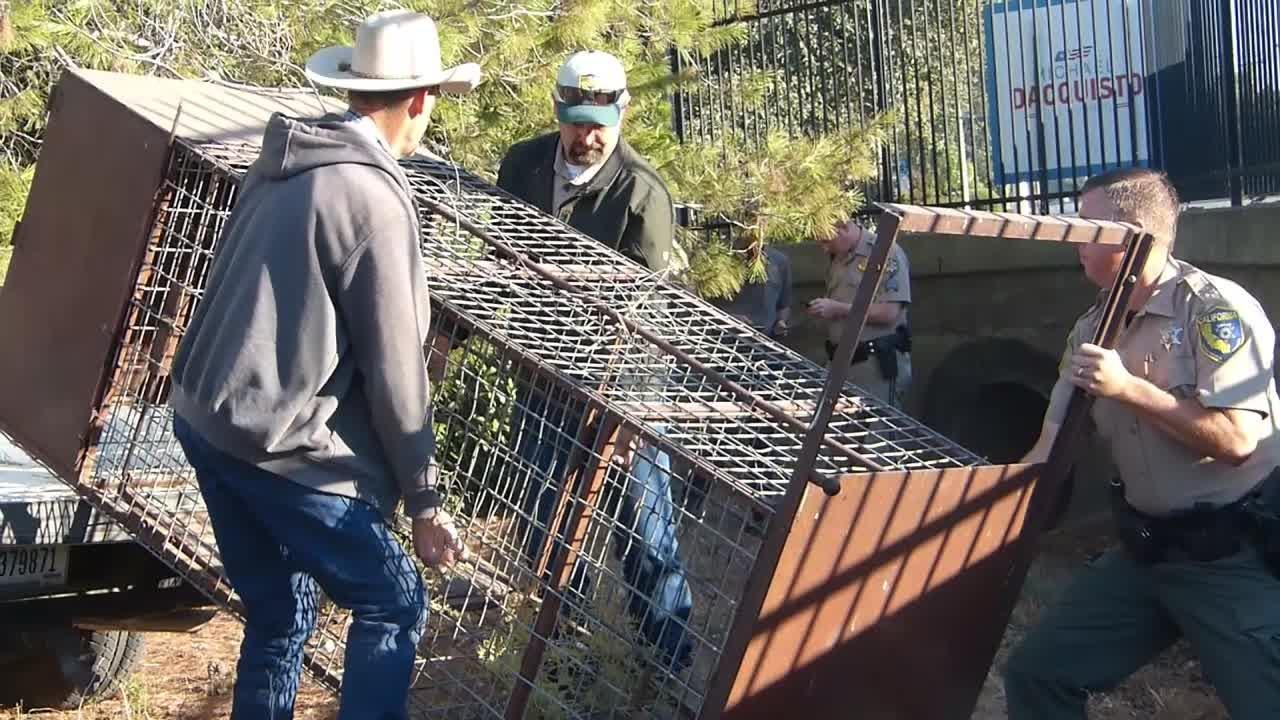 Authorities are trying to catch a bear after it went into a culvert off northbound Interstate 5 Monday morning.