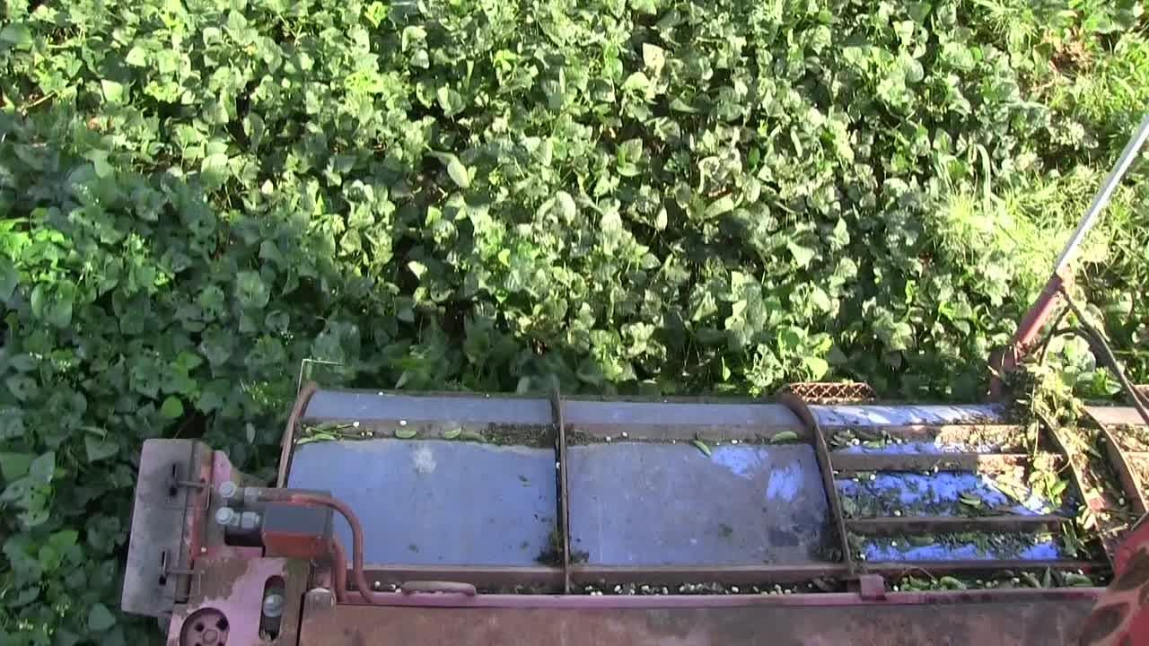 Raw video: Baby lima bean harvesting
