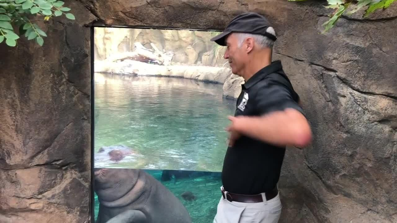 Cincinnati Zoo Director Thane Maynard will lead the chicken dance at this weekend's Oktoberfest. Here, he faces a tough critic - Fiona the hippo.