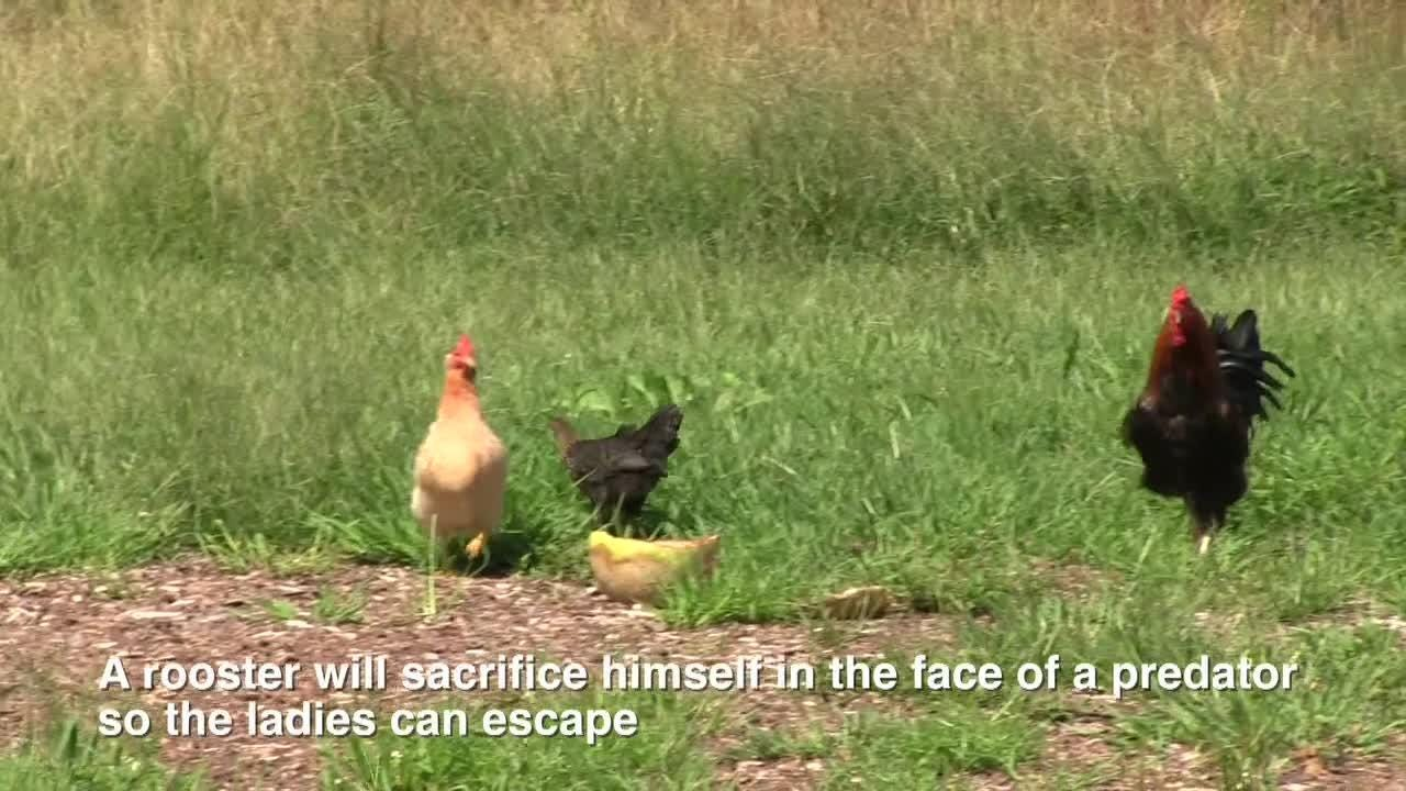 Fun facts about chickens