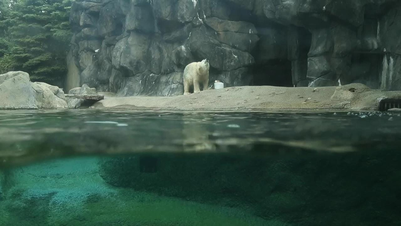 Homecoming of Polar Bear Anoki to the Seneca Park Zoo, where she will become a permanent resident.