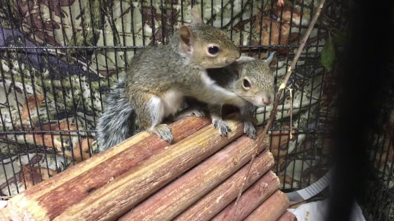 Video: 107 baby squirrels at Florida Wildlife Hospital