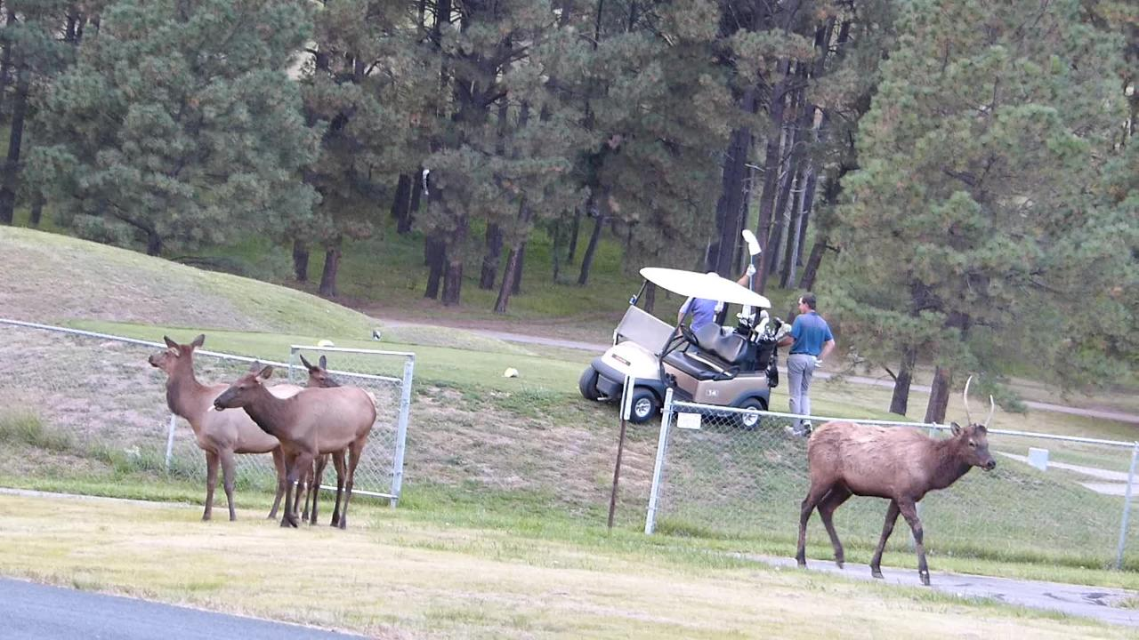 Golfers appear undisturbed by a herd of elk near the putting green on The Links Golf Course in Ruidoso.