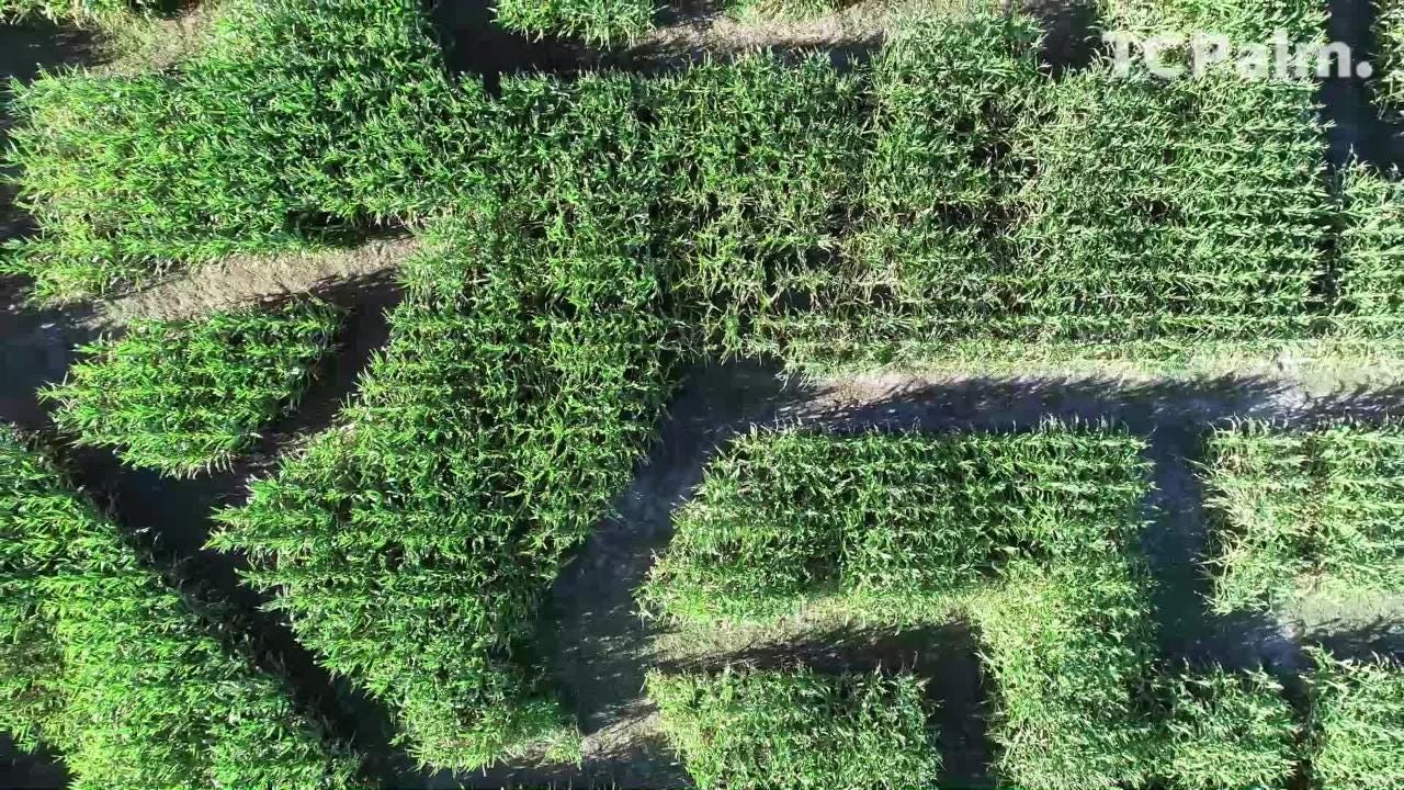 The corn maze at Countryside Citrus, 6325 81st St. in Vero Beach, is open from 10 a.m.-5 p.m. every weekend through Nov. 10. This video of the corn maze, taken in 2017, shows the design that commemorates the 100th anniversary of Vero Beach.