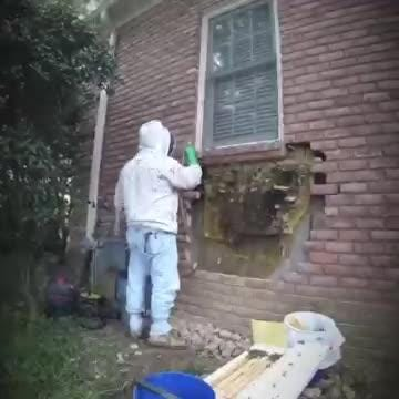 David Glover, The Bartlett Bee Whisperer, removes a huge flat honeycomb from behind a brick wall at a home in Germantown. https://www.youtube.com/watch?v=3Tn3Nc69lvA&t=2s