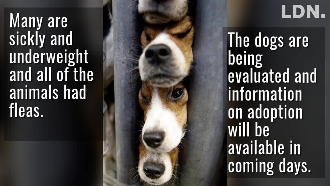 Animal welfare workers removed 71 beagles from a cramped house in rural PA, where officials say a woman had been breeding them without a license.