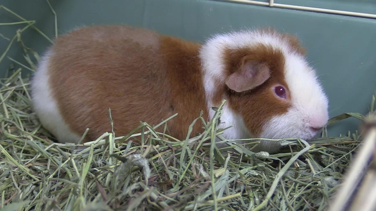 Teddy is a one year old guinea.  She like to be pet and she likes to explore.  She is looking for her forever home.