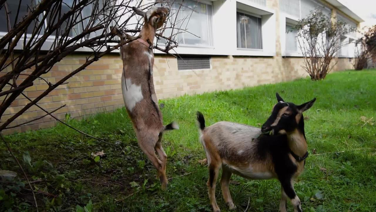 Lincoln Park Middle School enlisted the help of goats to keep the organic garden courtyard free of weeds & poison ivy much to the delight of students.