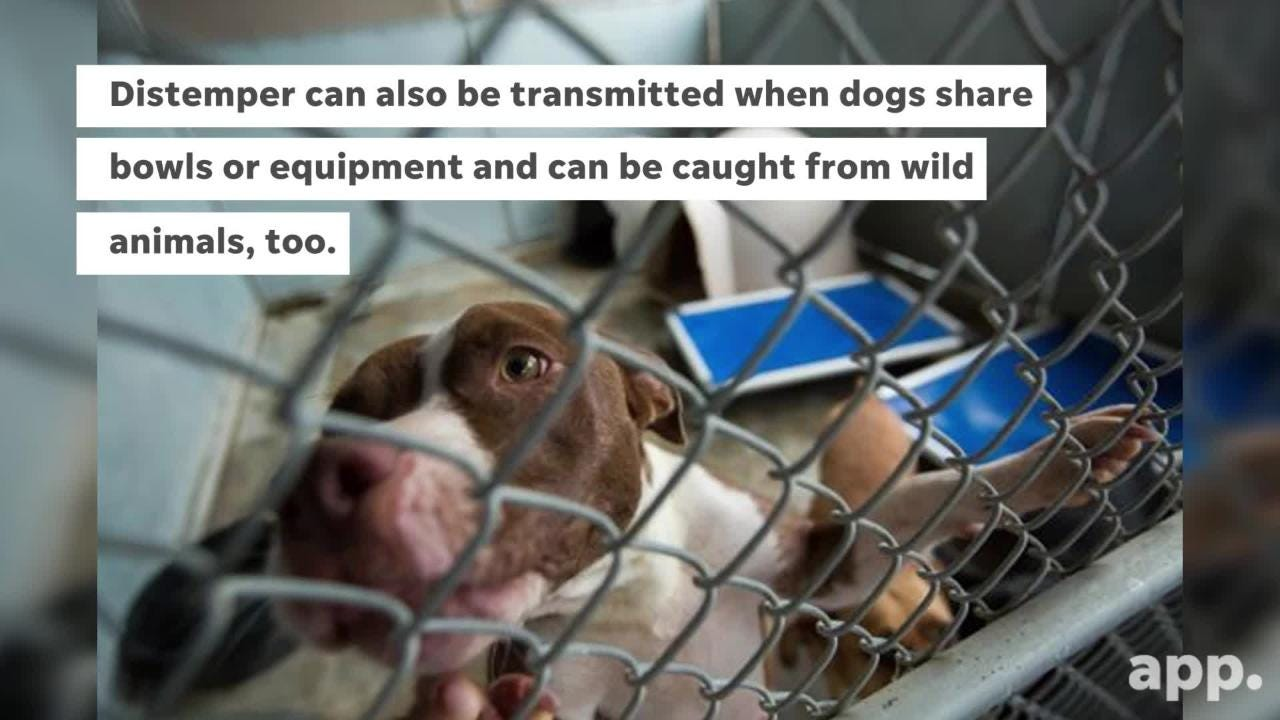 What you should know about canine distemper