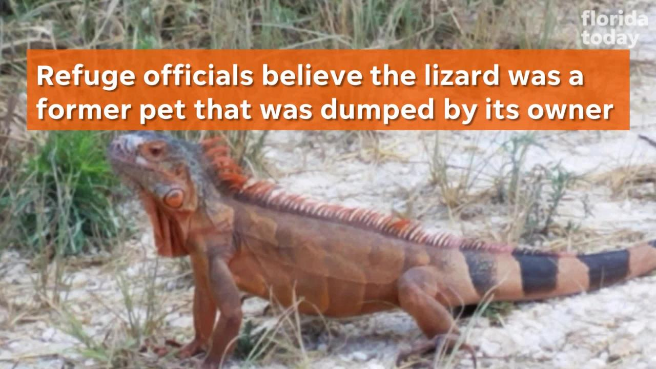 Eyewitnesses have seen the brightly colored lizard along Biolab Road, a dirt lane hugging the Mosquito Lagoon south of Haulover Canal.
