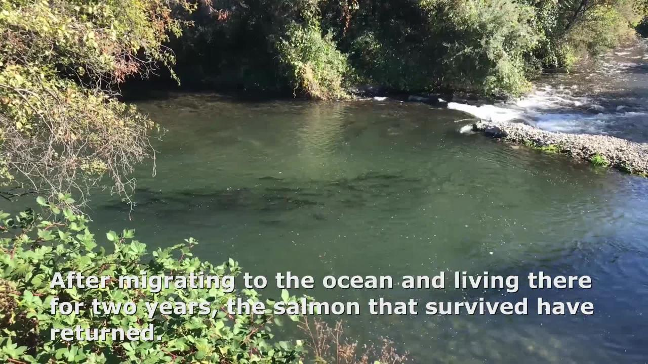Fall-run chinook salmon make their way up Battle Creek to spawn.